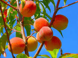 In terms of beauty, Peaches have amazing benefits: Study